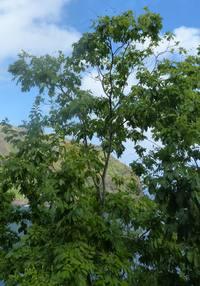 HT Kokuu arbre