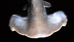 Requin Marteau tete